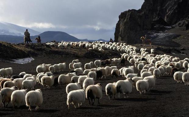 Quando o pastor sai em defesa dos lobos…