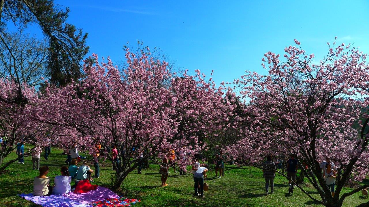 PRC Cerejeiras Carmo 28 - Conheça as cerejeiras do Parque do Carmo