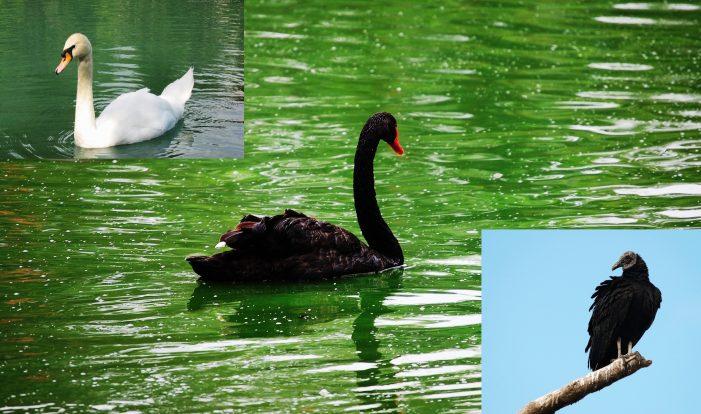 O cisne negro virou urubu