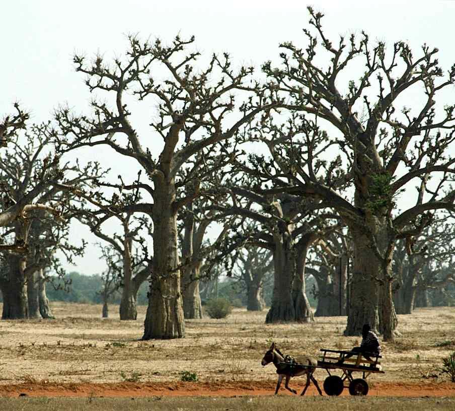 Floresta de baobás em região considerada árida no Senegal