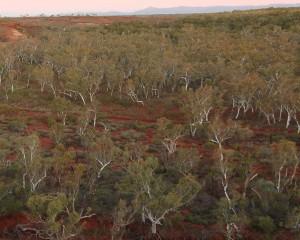 Floresta de eucaliptos na região árida de Pilbara, Austrália ocidental