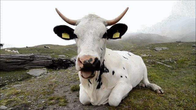 Vaquinhas sem leite