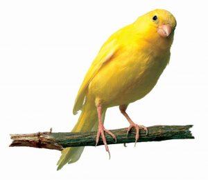 Na Abadia de São Pedro, famosa por sua escola de música, o estudante Felix, fi lho do Prof. Gruber, conhecia de cor o Stille Nacht e o ensinava a pássaros canoros.