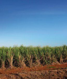 Plantação de cana de açucar