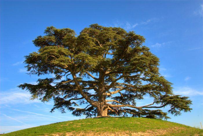 O mítico Cedro do Líbano